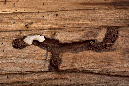 Boktor-larve